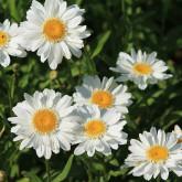 8 daisies