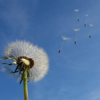 dandelion seeds against a blue sky