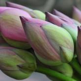 lotus-657241_1280