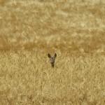 Deer Wisdom