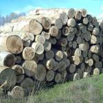 Binsey Poplars Felled