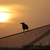 crow sunset