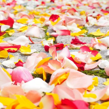pink, red, yellow, flower, petals