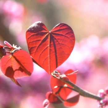 red leaf heart