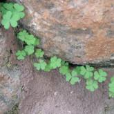clover stone