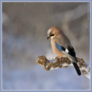 Jay bird on a branch in winter