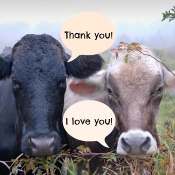 cows-thankyou