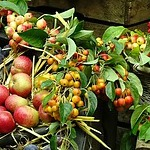 Leafy Apples and Berries
