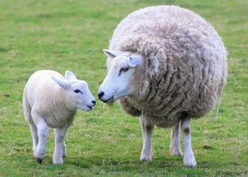 sheep mother lamb