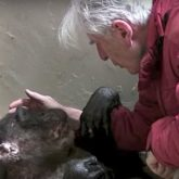 dying chimpanzee hugging old friend