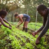black people tending to a crop