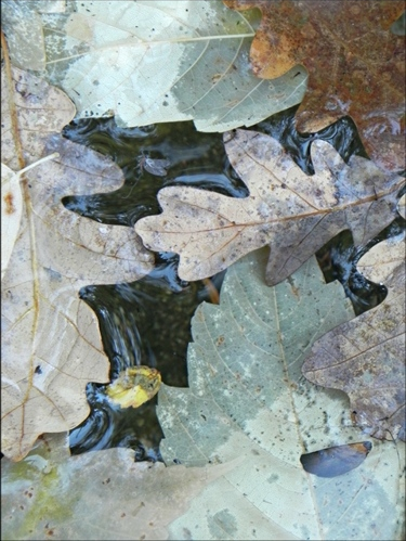 oak leaves floating in water.