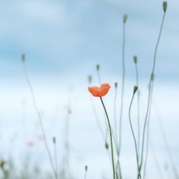 Orange poppy against a pale blue sky.