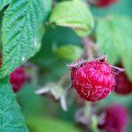 Dear Raspberry,